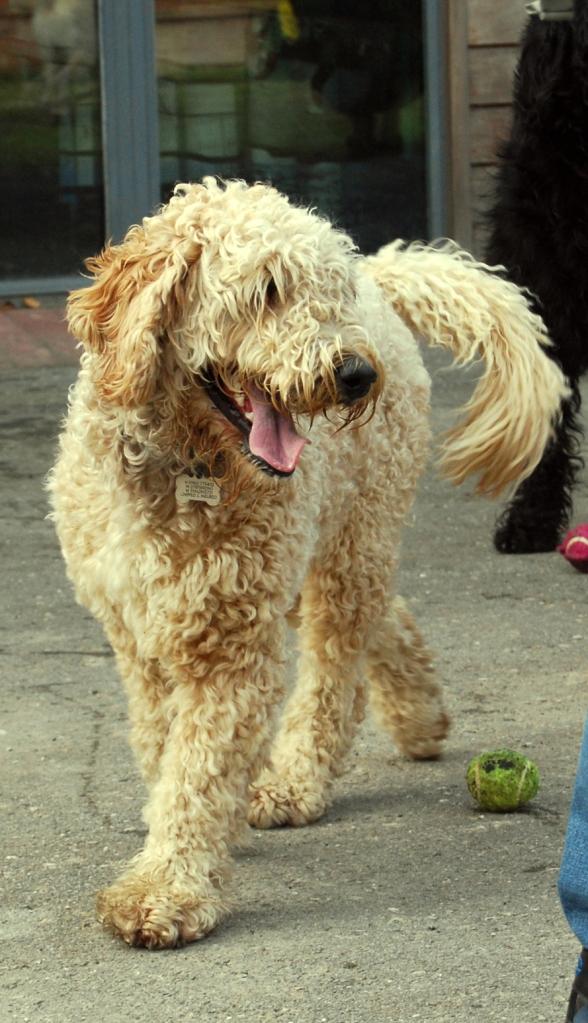 labradoodle, dog