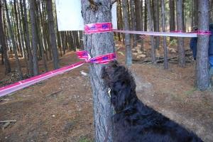 labradoodle, dog, race, stick