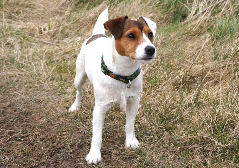 deaf dog, wiltshire walk, jack russell