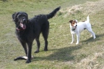 jack russell, labradoodle, stick, wiltshire walk